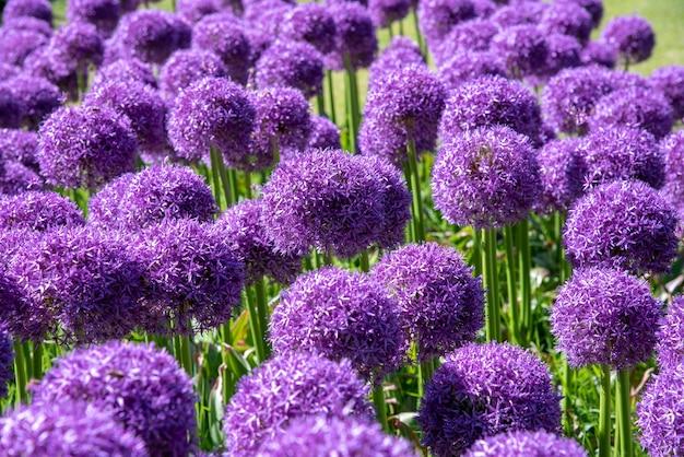 Крупным планом красочные фиолетовые цветы помпона или лука, растущие на открытом воздухе в саду или парке весной