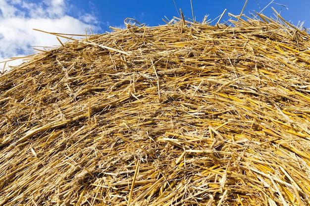 穀物の作物にクローズアップ