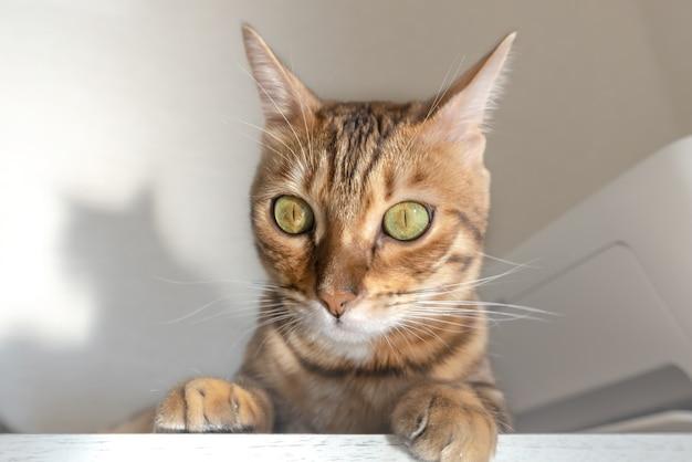 かわいいベンガル猫のクローズアップは棚に横たわっています