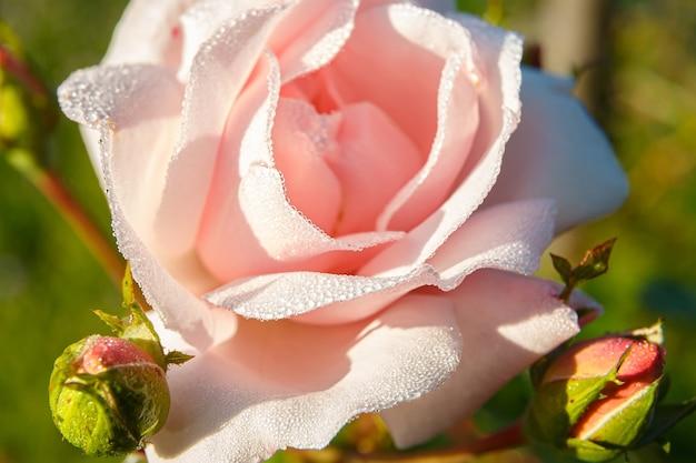 美しいバラの花びらの露のしずくにクローズアップ