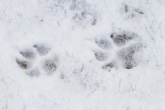 Крупным планом на следах лап собаки в снегу