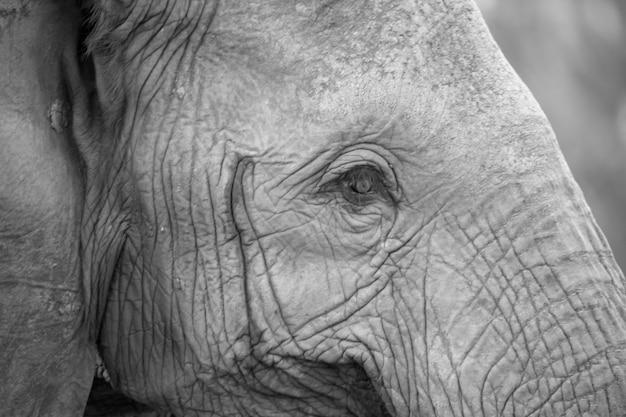 1つの大きな赤い象の顔にクローズアップ