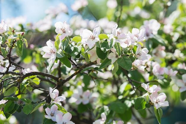 Крупным планом на цветущей ветке яблони