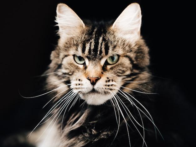 分離されたふわふわメインクーン子猫にクローズアップ