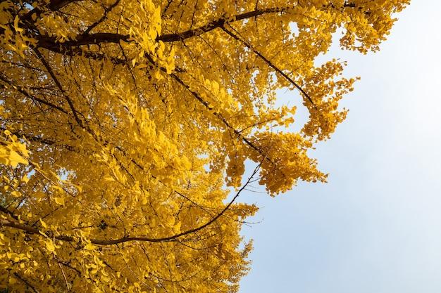 秋の黄金のイチョウの木にクローズアップ