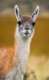 Крупным планом гуанако верблюд в природе