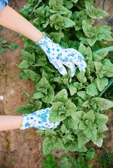 昆虫から作物を掃除する手にクローズアップ