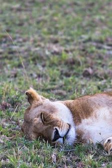 Крупным планом на голове большой львицы