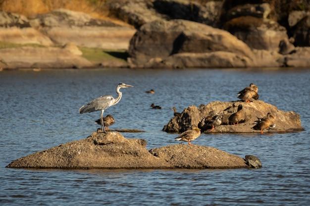川の真ん中に岩の上のサギ鳥にクローズアップ