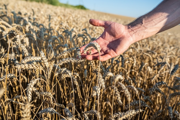 人間の手と耳で小麦畑をクローズアップ