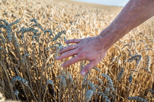 Закройте на человеческой руке и поле пшеницы с колосьями