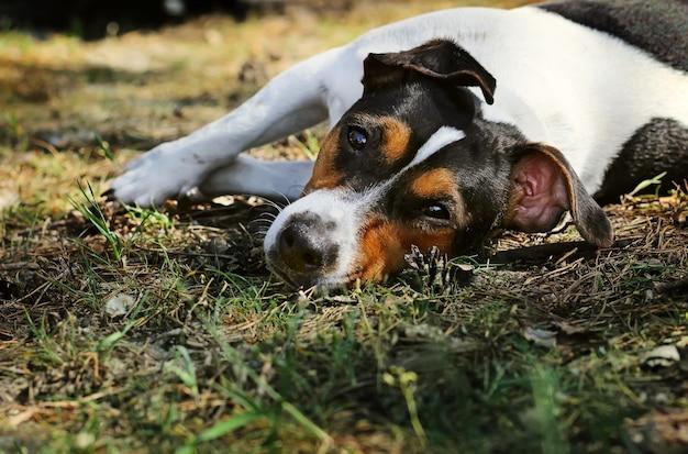 草の上に横たわるジャックラッセルテリアにクローズアップ