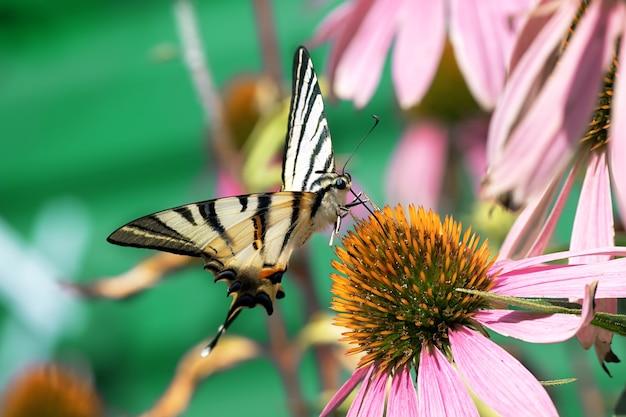 自然の中の花に座っている大きな蝶のクローズアップ