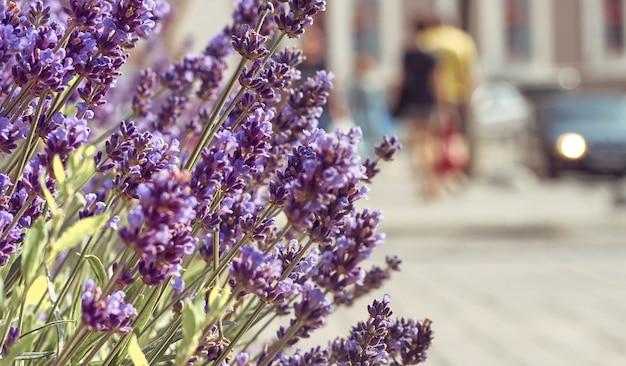 Крупным планом на цветы лаванды в поле