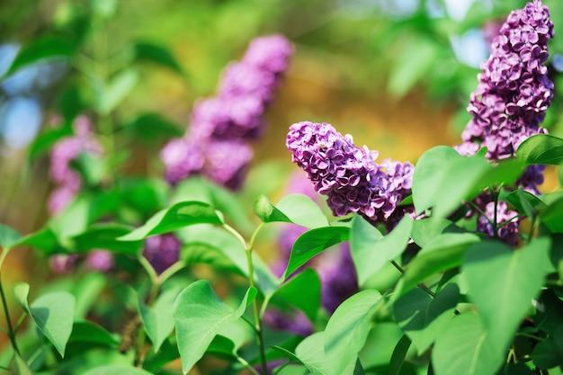 Крупным планом на сиреневые цветы и листья