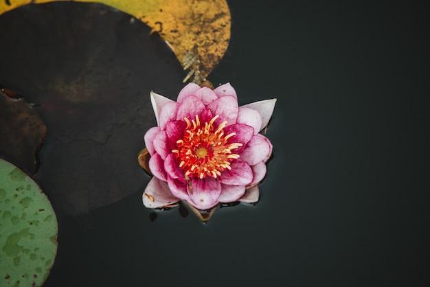 水の上のユリの花のクローズアップ、上面図