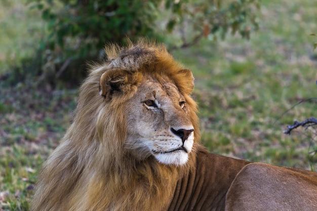 Крупный план льва, большого царя зверей