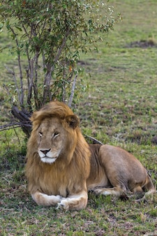 Крупный план льва, огромного царя зверей
