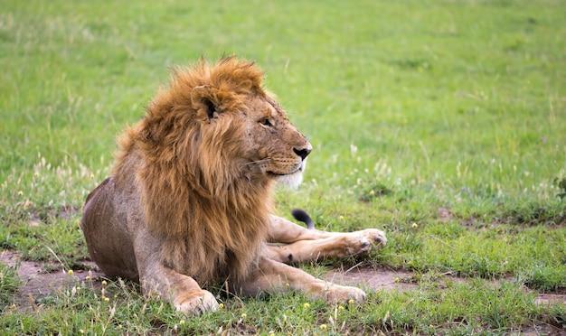 サバンナで横になっているライオンのクローズアップ