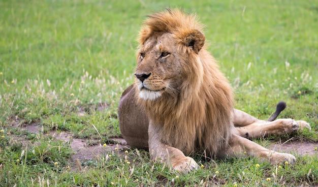 Крупным планом на льва, лежащего в саванне