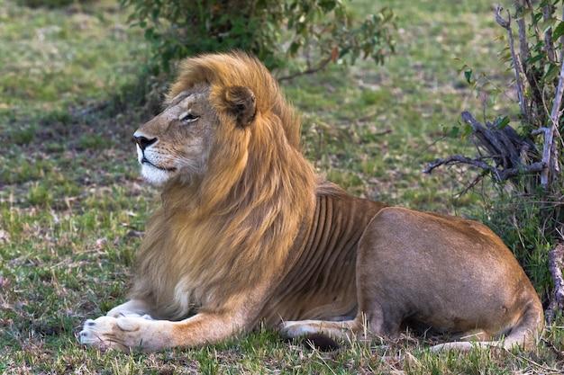 Крупным планом на живого сфинкса красивый лев