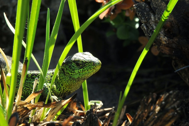 緑の色の繁殖で男性のトカゲにクローズアップ