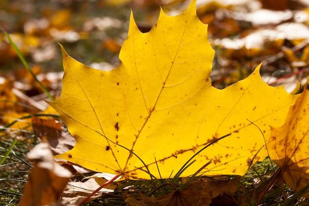 Крупным планом на кленовой листве
