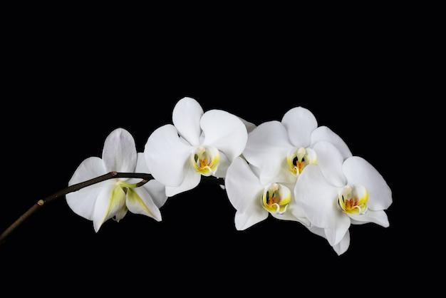 分離された蘭の花の枝にクローズアップ