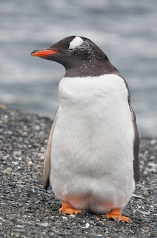 ウシュアイアの海岸のペンギンにクローズアップ