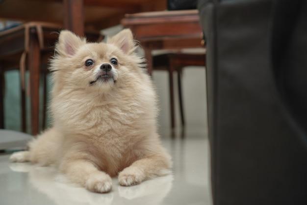 Крупным планом на домашнее животное, маленькая собака породы для померанского шпица, это лежа на гранитном полу дома
