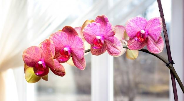窓の近くのピンクの蘭にクローズアップ