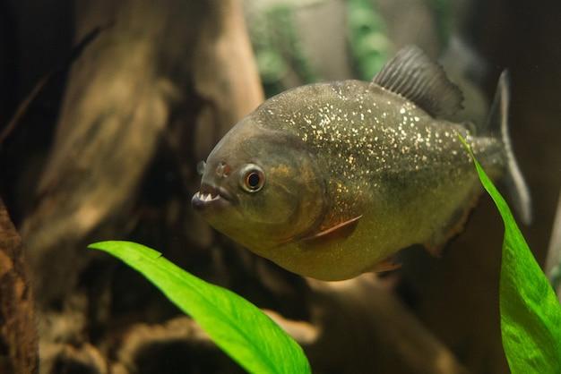 ピラニアの魚にクローズアップ