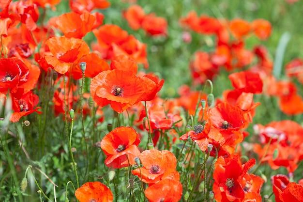 自然の中でポピーの花の花にクローズアップ