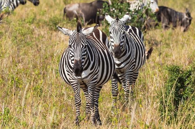 Крупным планом портрет пары зебр