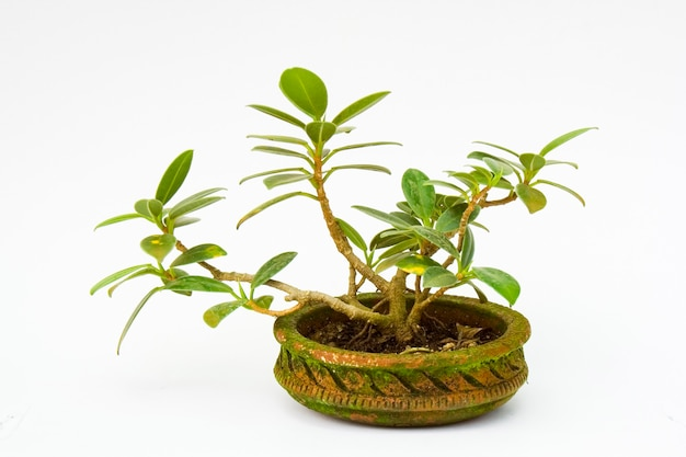 分離された鉢植えの盆栽のクローズアップ