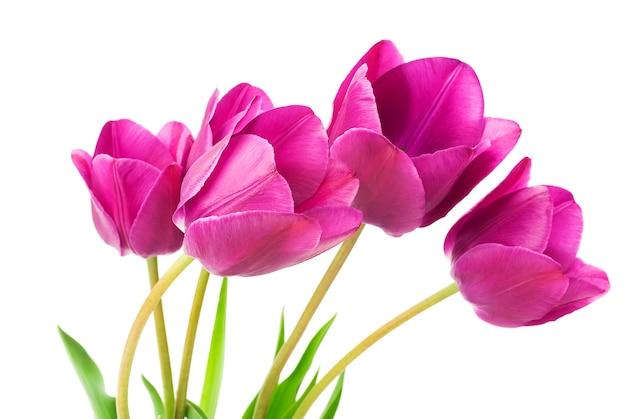 Крупным планом на фиолетовые тюльпаны изолированные