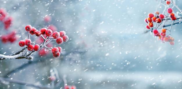 Крупным планом на ягоды красной рябины в снежной природе