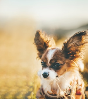 Крупным планом на маленькую милую собаку папийона на природе
