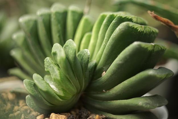 多肉植物の詳細をクローズアップ