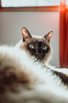 驚いた猫を屋内でクローズアップ