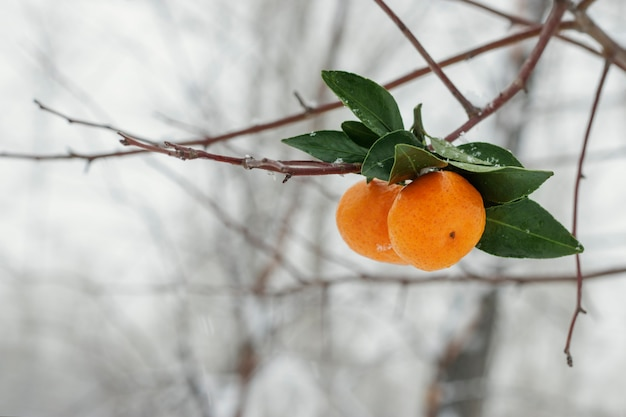 雪の降る冬の日に白樺の枝にぶら下がっているみかんにクローズアップ