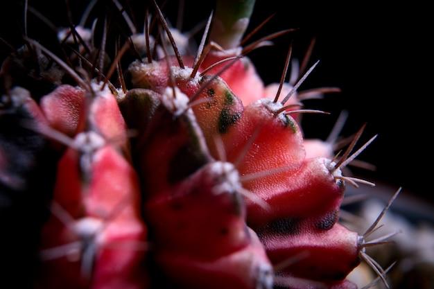 赤いギムノカリキウムサボテンのテクスチャのクローズアップ