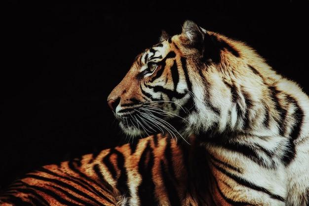 Крупным планом на тигра panthera tigris sumatrae на черном фоне