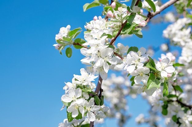 白いリンゴの木の花の詳細をクローズアップ