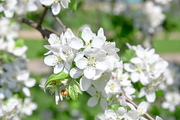 Крупным планом на белые детали цветы яблони