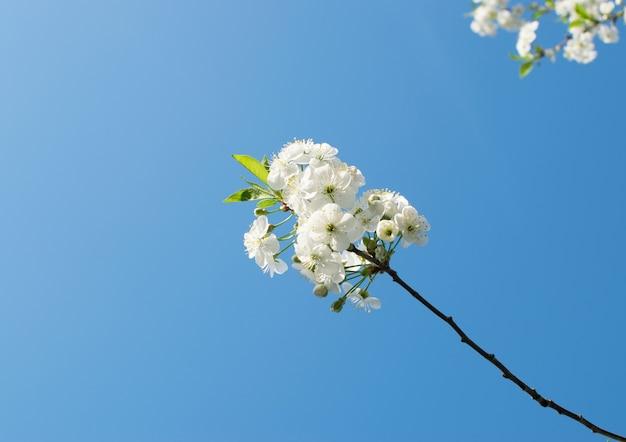 Крупным планом на цветущие белые фрукты в парке