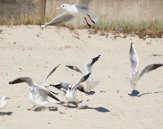 砂浜の白いカモメにクローズアップ
