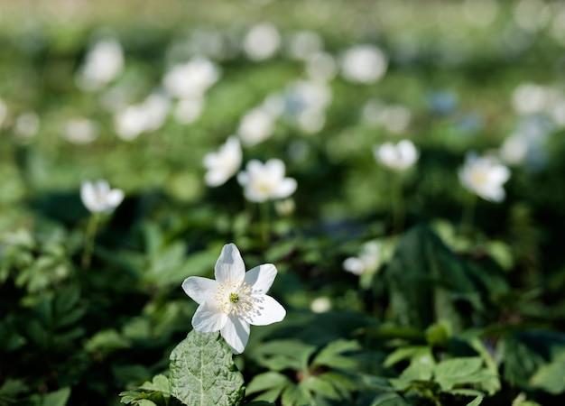 緑の牧草地に白い春の花にクローズアップ