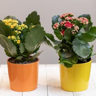 Крупным планом - цветы каланхоэ от флориста