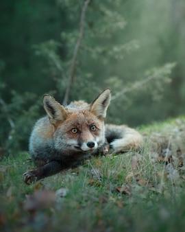 自然の中で座っている野生の大人のキツネにクローズアップ
